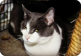 Domestic Shorthair Cat for adoption in Lincoln, California - Sonny
