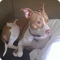 American Bulldog/Pointer Mix Dog for adoption in Hollywood, Florida - Rocky