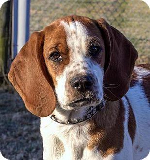 Spaniel (Unknown Type)/Beagle Mix Puppy for adoption in Fairfax, Virginia - Billy