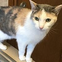 Domestic Shorthair Cat for adoption in Yukon, Oklahoma - Audrey