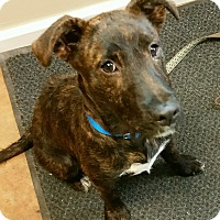 Terrier (Unknown Type, Medium) Mix Puppy for adoption in Port Clinton, Ohio - Shorty