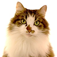 Adopt A Pet :: Cutsie - Harrisonburg, VA