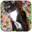 Photo 3 - Domestic Shorthair Kitten for adoption in Orlando, Florida - Mowgli