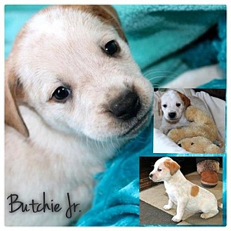American Bulldog/American Pit Bull Terrier Mix Puppy for adoption in Garden City, Michigan - Butchie Jr