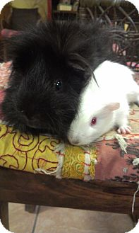 Guinea Pig for adoption in Pittsburgh, Pennsylvania - Luna