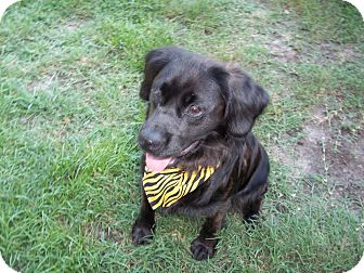 Cocker Spaniel Mix Dog for adoption in Tampa, Florida - BB