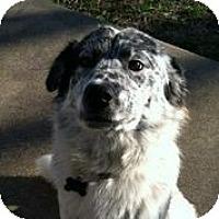 Adopt A Pet :: Sir Charles - Austin, TX