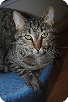 Domestic Shorthair Cat for adoption in Waxhaw, North Carolina - Willow