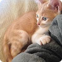 Adopt A Pet :: Cheddar - Phoenix, AZ