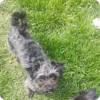 Adopt A Pet :: Arnie - Ft. Collins, CO