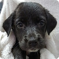 Adopt A Pet :: BASHA'S LITTER - Pompton Lakes, NJ