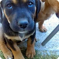 Adopt A Pet :: ANNAS GERM SHEP X PUPPIES - Winnetka, CA
