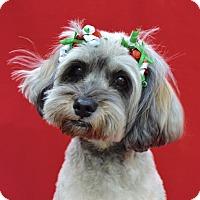 Adopt A Pet :: Lola Bella - Irvine, CA