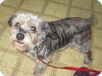 Miniature Schnauzer/Poodle (Miniature) Mix Dog for adoption in Lenoir, North Carolina - CANDE (SRC#1633)  IN HOSPICE CARE