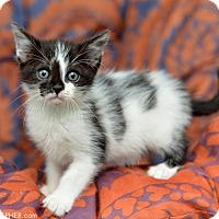 Adopt A Pet :: Bevers - San Francisco, CA
