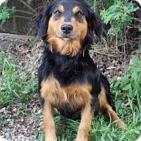 Adopt A Pet :: PARIS - Westminster, CO