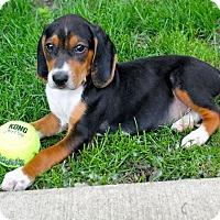 Adopt A Pet :: Arcanine - Mt. Prospect, IL