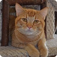 Domestic Shorthair Cat for adoption in Larned, Kansas - Rajah