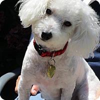 Adopt A Pet :: LUCY - San Rafael, CA