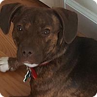 Beagle/Dachshund Mix Dog for adoption in Alpharetta, Georgia - Ziggy