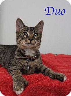 Domestic Shorthair Kitten for adoption in Bradenton, Florida - Duo