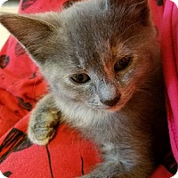 Domestic Shorthair Kitten for adoption in Woodbury, New Jersey - Oyster