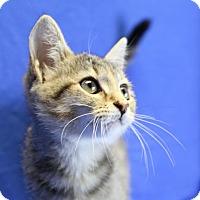 Domestic Shorthair Kitten for adoption in Winston-Salem, North Carolina - Harly