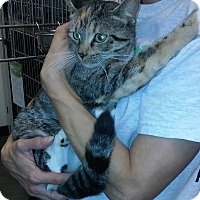 Domestic Shorthair Cat for adoption in Alexis, North Carolina - Monique