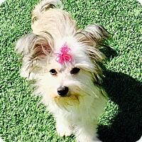 Adopt A Pet :: Gretchen - Encino, CA