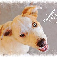 Adopt A Pet :: DOTTIE - Sweetheart! - Chandler, AZ