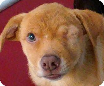 Labrador Retriever/Shepherd (Unknown Type) Mix Puppy for adoption in Los Angeles, California - ROSITA (video)