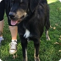 Golden Retriever/Border Collie Mix Dog for adoption in columbiana, Ohio - Indiana