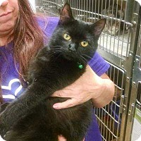 Domestic Shorthair Cat for adoption in South Bend, Indiana - Achilles