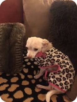 Chihuahua Mix Dog for adoption in Houston, Texas - Hope