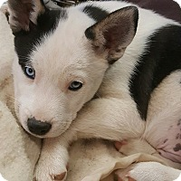 Adopt A Pet :: Dodger - Apple valley, CA
