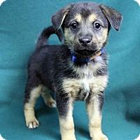 Adopt A Pet :: AMBER - Westminster, CO
