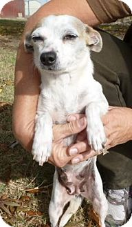 Chihuahua/Dachshund Mix Dog for adoption in Sacramento, California - Little Miss Piggy