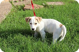 Jack Russell Terrier/Terrier (Unknown Type, Medium) Mix Puppy for adoption in Houston, Texas - Liam