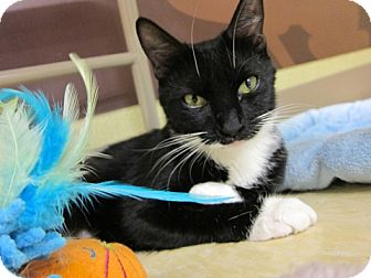 Domestic Shorthair Cat for adoption in New York, New York - Minnie