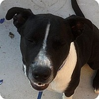 Adopt A Pet :: Chloe - Courtesy Listing - Oakley, CA