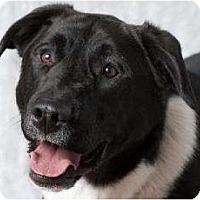 Adopt A Pet :: Spruce - Seattle, WA
