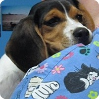 Adopt A Pet :: Sophie*ADOPTED!* - Chicago, IL