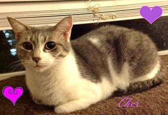 Domestic Shorthair Cat for adoption in knoxville, Tennessee - Cher-female-