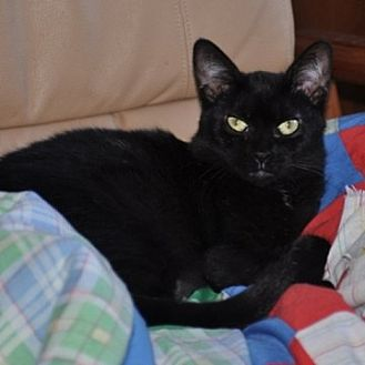 Domestic Shorthair Cat for adoption in St. Charles, Illinois - Polly