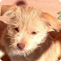 Adopt A Pet :: Dina - Spring Valley, NY