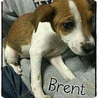 Blue Heeler/Australian Shepherd Mix Puppy for adoption in Mandeville, Louisiana - Brent