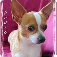 Adopt A Pet :: Pedro - Marlborough, MA