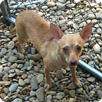 Feist/Chihuahua Mix Dog for adoption in Concord, North Carolina - Micro
