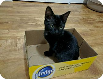 Domestic Shorthair Kitten for adoption in San Jose, California - Boo