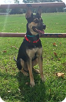 German Shepherd Dog/Shepherd (Unknown Type) Mix Dog for adoption in Seattle, Washington - Shep